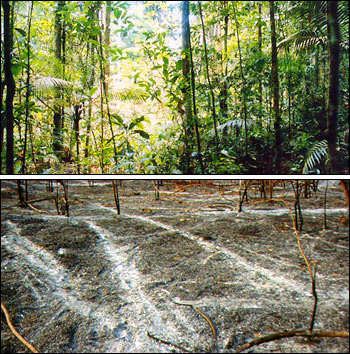 Photograph of Jungle Understory compared to Ash from Slash and Burn