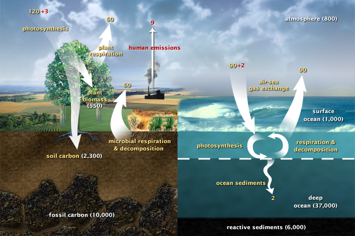 Draft diagram of the carbon cycle.