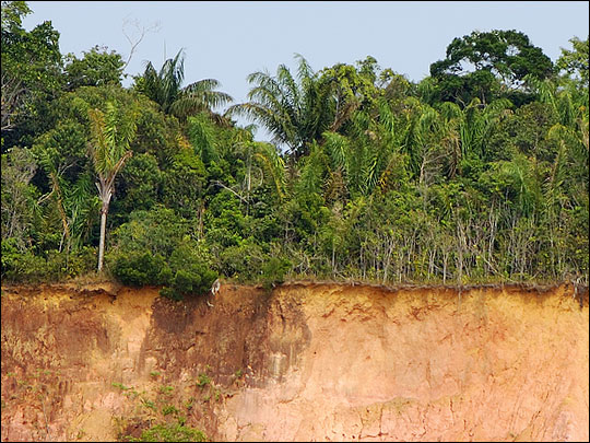 Photograph of thin layer of organic soil overlying clay in the Amazon
